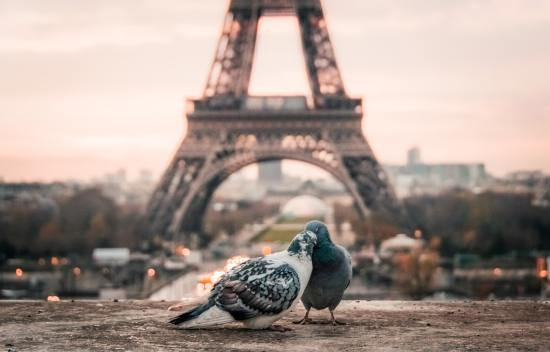 Image of the Eiffel Tower with two pigeons in the foreground