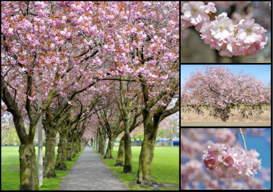 cherry blossom edinburgh