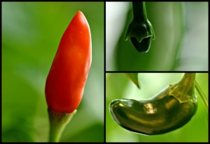 grow your own chilli pepper plants