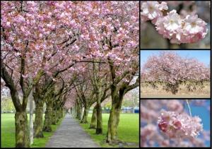 cherry blossom Meadows Edinburgh