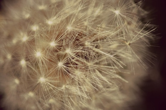 dandelion make a wish