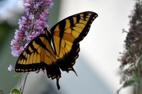 butterfly Virginia