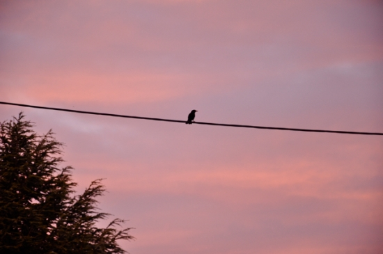 blackbird sunset Hobart Tasmania