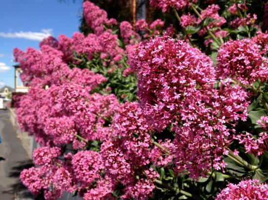 spring flowers Hobart Tasmania
