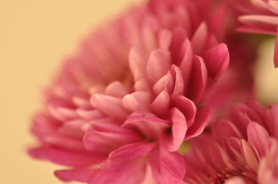 macro photography pink flower