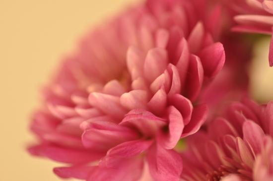 macro photography pink flower