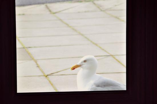 isle of harris seagull photo