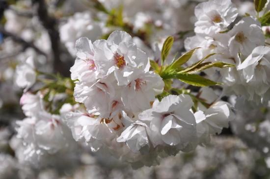 cherry blossom in Hobart Tasmania