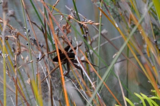 Water Spider brunt island tasmania