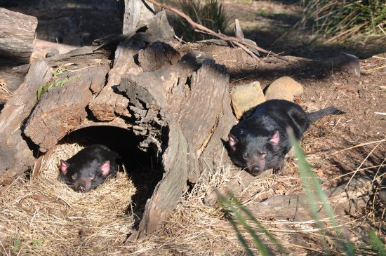 Two sleeping Tasmanian devils at Bonorong Wildlife Sanctuary in Tasmania
