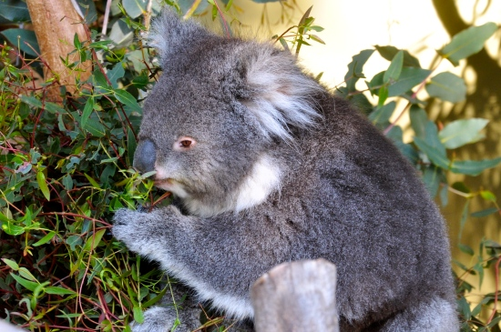 A koala eating eucalyptus leaves at Bonorong Wildlife Sanctuary in Tasmania