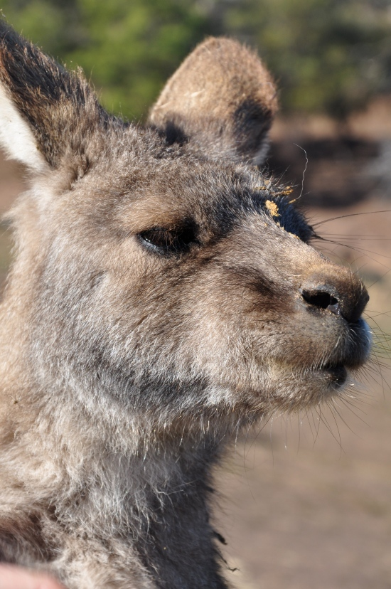 A close-up shot of a kangaroo at Bonorong Wildlife Sanctuary in Tasmania
