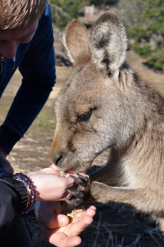 A figure hand-feeding a kangaroo at Bonorong Wildlife Sanctuary in Tasmania