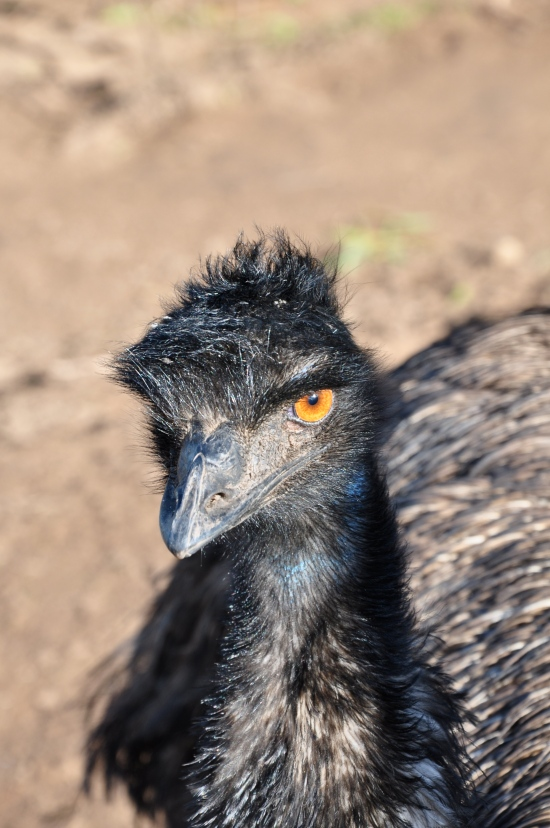 A close-up shot of an emu at Bonorong Wildlife Sanctuary in Tasmania
