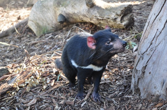 A Tasmanian Devil in an enclosure at Bonorong Wildlife Sanctuary in Tasmania