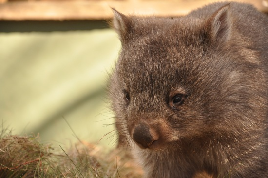 A wombat at Bonorong Wildlife Sanctuary in Tasmania