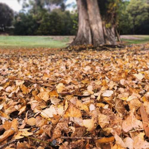 autumn leaves on the ground under a tree in Hobart Tasmania