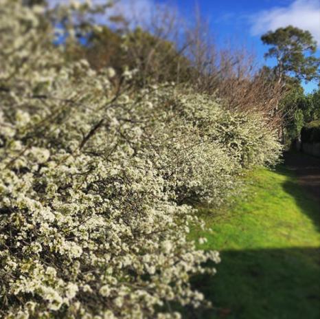 Spring blossom in Tasmania