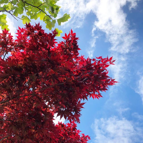 maple tree and blue sky in Hobart Tasmania in spring