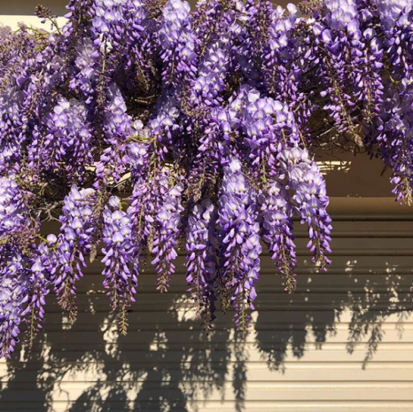 purple wisteria in spring, Tasmania