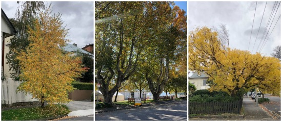 A collage of three photos showing Hobart trees in Autumn.