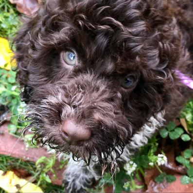 A chocolate brown poodle puppy looks up at the camera from a grassy lawn