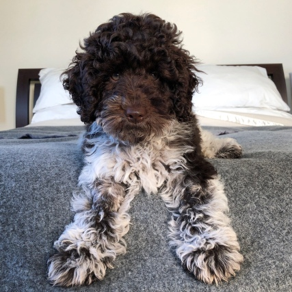 A spoodle puppy sitting on a bed
